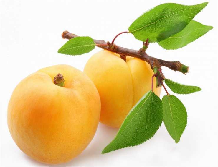картинка ветка абрикос бинты известны своим