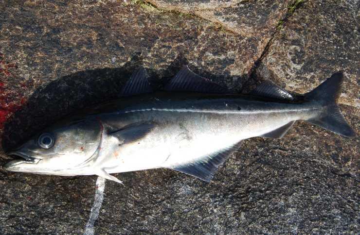 Паук рыболовный картинки иметь