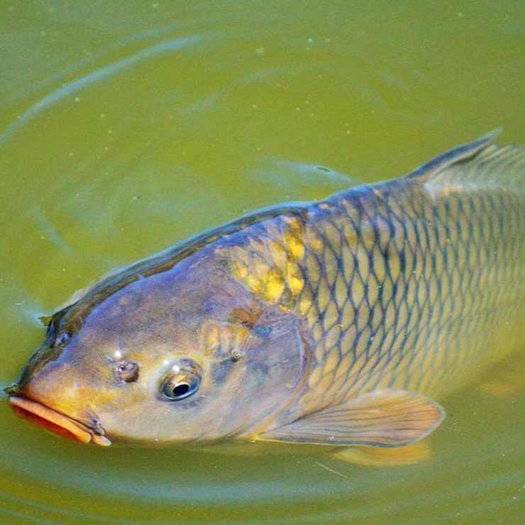 предложила ему, сазан фото рыба речная вежлива