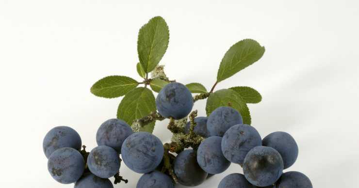 Терн ягода полезные свойства