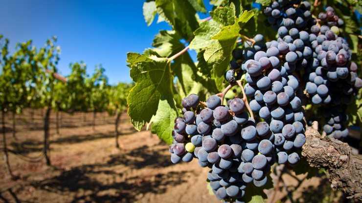 Польза зеленого винограда для организма